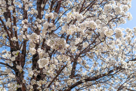 A tree blooming with white flowers in Albuquerque, New Mexico. 版權商用圖片