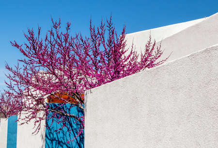 Cherry blossom tree next to the blue and white adobe house in Albuquerque, New Mexico 版權商用圖片