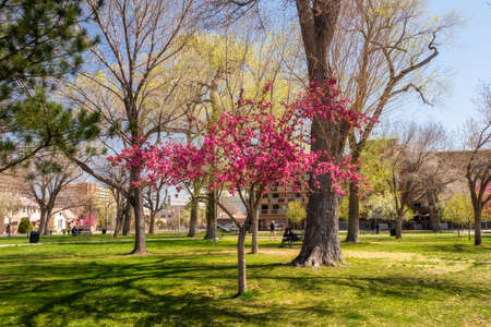 Cherry blossom tree in Robinson Park, Albuquerque, New Mexico