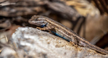 A desert lizard perched on a rock in Rio Grande Nature Center State Park, Albuquerque, New Mexico