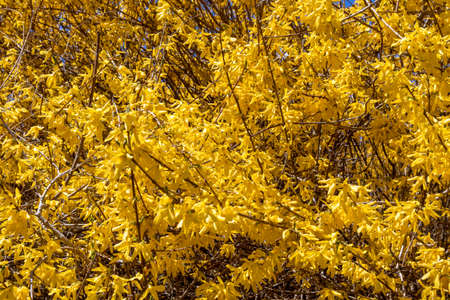Forsythia europaea, a flowering forsythia bush with yellow flowers, spring, Rhode Island