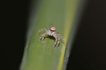 salticidae: Jumping Spider Stock Photo