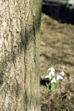 nervation: Tree nerve with snowdrop flowers at the background