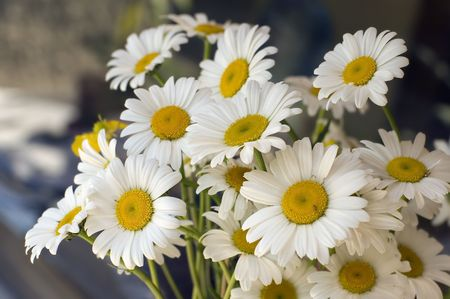 A bunch of beautiful white daisy Stock Photo - 3869523