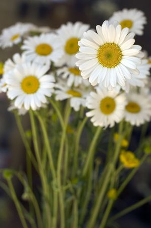 A bunch of beautiful whyte daisy Stock Photo - 3869518