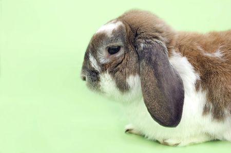 flappers: Poco disquete con orejas de conejo aislados sesión sobre fondo verde
