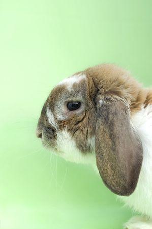 flappers: Poco retrato de conejo con orejas disquetes sentado aislado sobre fondo verde  Foto de archivo