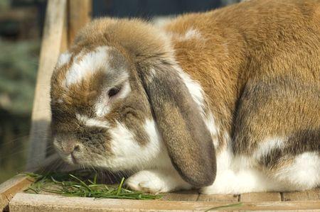 flappers: Retrato de conejito con orejas de comer hierba