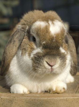 flappers: Conejo poco divertido retrato con orejas disquetes sentado Foto de archivo
