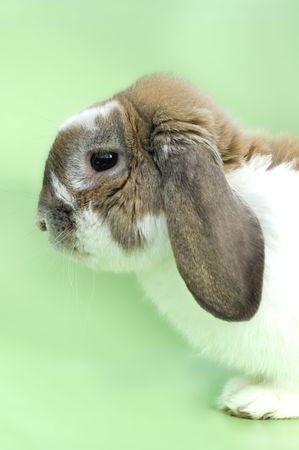 flappers: Conejito con orejas de estar aislado en fondo verde Foto de archivo