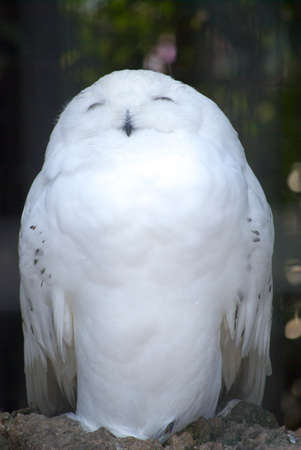 civetta bianca: Bianco gufo