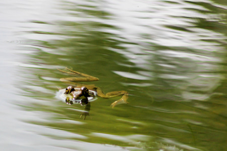 Frog swimming at the surface of pond with big eyes reflecting on water Stock Photo
