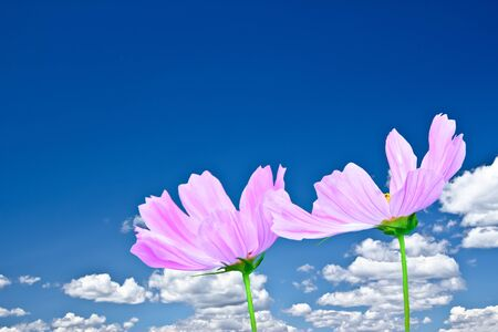a nature image of pink cosmo daisies on a sunny day