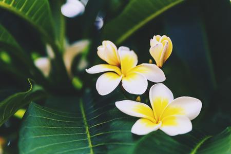 Primer plano de flores blancas frangipani en un árbol en Queensland, Australia Foto de archivo - 75916257