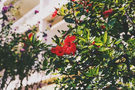 빨간색 히 비 스커 스 트리에서 꽃, 직사 광선 아래 여름에 총 열 대 식물의 세부 총