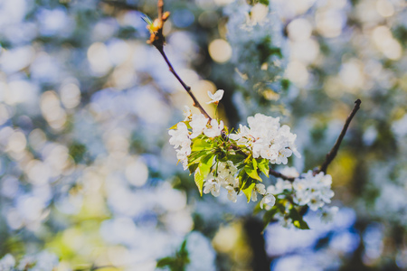 white hawthorn blossoms on tree branches in city park, shot at shallow depth of field