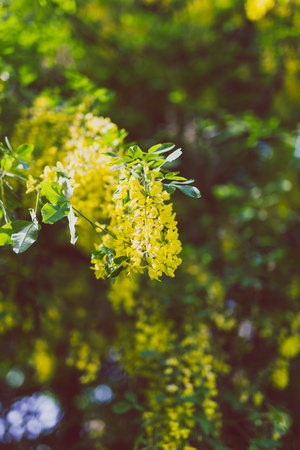 Beautiful yellow blooming tree Laburnum Voisii Golden Rain in city park in spring Standard-Bild