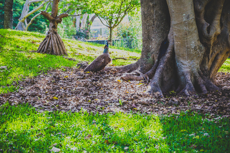 GOLD COAST, AUSTRALIA - January 7th, 2015: peacock walking around free in the Les Rodgers Memorial Park in Surfers Paradise surrounded by its tropical plants and trees