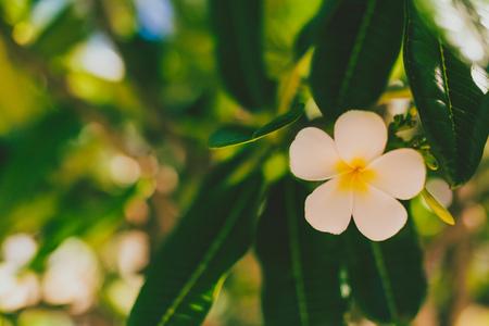 close-up of beautiful subtropical frangipani plant shot in Queensland, Australia in summer Stok Fotoğraf