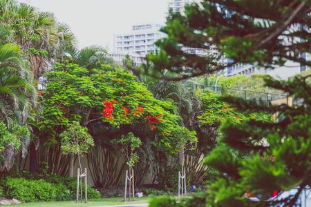 Close-up di bella pianta subtropicale Illawarra fiamma albero girato nel Queensland, in Australia in estate Archivio Fotografico