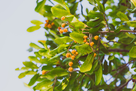 close-up of beautiful subtropical berry plant shot in Queensland, Australia in summer