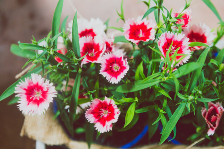 close-up of beautiful dianthus plant shot in Queensland, Australia in summer Stock Photo