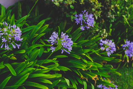 close-up of beautiful subtropical Agapanthus Lily of the Nile plant shot in Queensland, Australia in summer