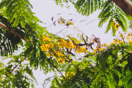 close-up of beautiful subtropical Illawarra flame tree plant shot in Queensland, Australia in summer