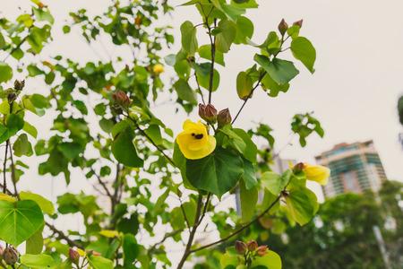close-up of beautiful subtropical hibiscus plant shot in Queensland, Australia in summer Stock Photo