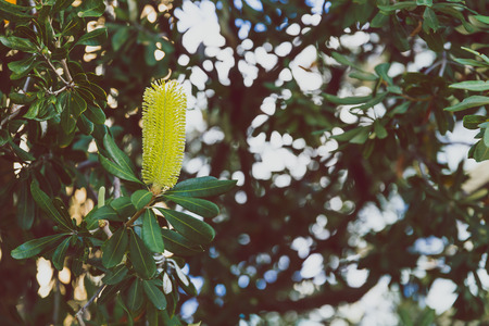 close-up of beautiful subtropical Banksia Costata Buttle Brush plant shot in Queensland, Australia in summer