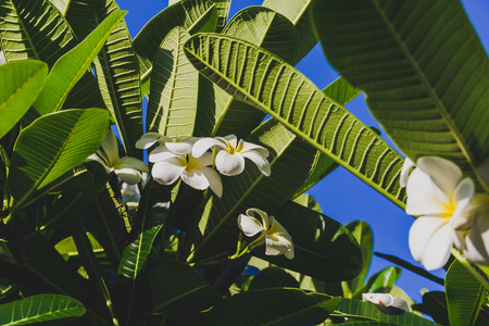 close-up of beautiful subtropical frangipani plant shot in Queensland, Australia in summer Stock Photo