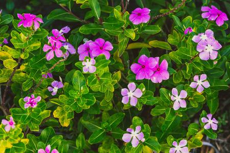 close-up of beautiful vinca plant shot in Queensland, Australia in summer