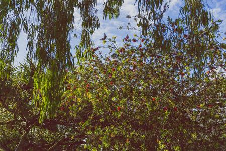 close-up of beautiful subtropical Callistemon Bottle brush plant shot in Queensland, Australia in summer Stock Photo