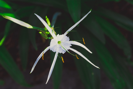 close-up of beautiful subtropical wild white lily plant shot in Queensland, Australia in summer