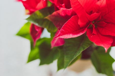 poinsettia plant shot at shallow depth of field, typical plant used as decoration in the festive season during Christmas