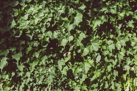 ivy covered wall under harsh sunshine, background or texture shot edited with warm green tones 写真素材