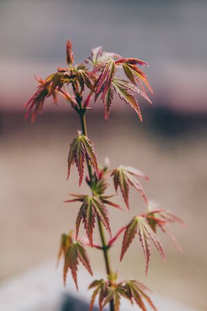 close-up of small japanese maple plant in pot with red and green leaves, shot at shallow depth of field