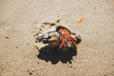 hermit crab on the sand half outside of his shell on the beach in Marion Bay in Tasmania Australia Banco de Imagens