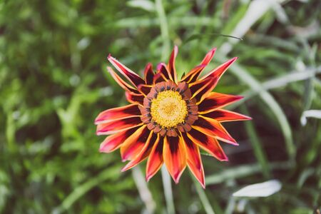 African native Gazania daisies with vibrant yellow pink and red tones shot at shallow depth of field under natural light on a sunny day