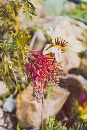 African native gazania daisy and Australian native grevillea flowers growing next to each other shot at shallow depth of field