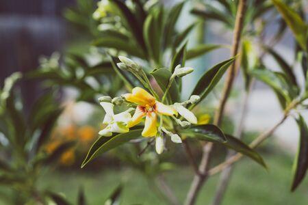 native Australian frangipani Hymenosporum plant with yellow and white flowers and ladybug shot at shallow depth of field