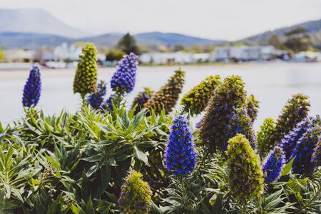 Australian beach landscape with echium plant in the foreground with big exotic-looking purple flowers Stock Photo