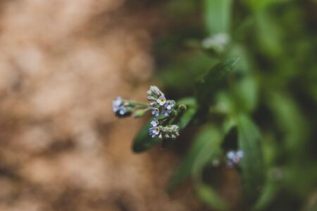 small forget me not buds about to bloom, close-up shot at extremeley shallow depth of field 스톡 콘텐츠