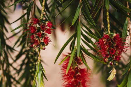 native Australian bottle brush callistemon tree in bloom with red spiky flowers close-up shot at shallow depth of field
