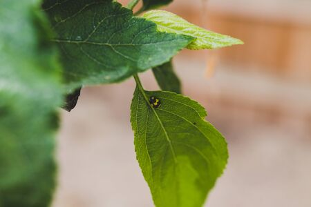 laybugs on apple tree leaves close-up macro shot under natural light at shallow depth of field