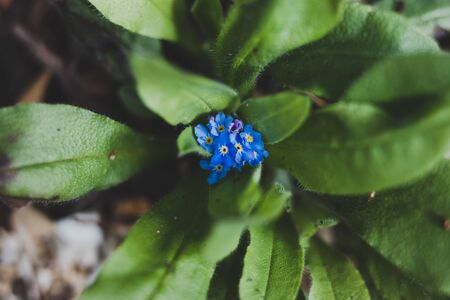 blue forget me not plant with tiny flowers outdoor in sunny backyard shot at shallow depth of field