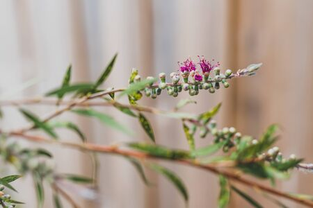 native Australian bottle brush callistemon tree in bloom with pink flowers close-up shot at shallow depth of field 스톡 콘텐츠