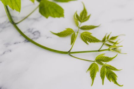 branch of green lush maple leaves on marble, concept of nature and attention to the environment in everyday life