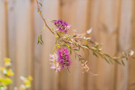 native Australian bottle brush callistemon tree in bloom with pink flowers detail shot with wooden fence bokeh