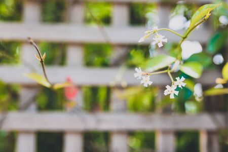 jasmin plant with tiny white flowers surrounded by greenery and fence bokeh outdoor in sunny backyard shot at shallow depth of field Banco de Imagens